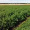 alfalfa-tra4nsgenica