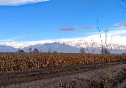 Maíz Santa Fe 2 MGRR2 – Tupungato – Mendoza